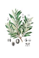 Olivenbaum - Olivenöl