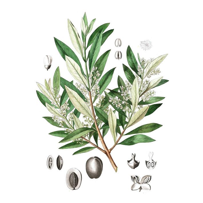 Olivenbaum-Rohstoffe-Galerie